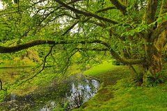 Canon EOS 5D Mark IV - 0C4A0947 (rogerbtree) Tags: gardens oldgrowth nature wildlife flowers waterfeatures ponds trees hdrimagery reflections spring bainbridgeisland canon canon5dmkiv pacificnorthwest