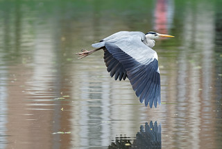Heron in flight (1/3) : flying over the lake