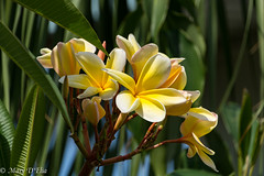 TG Apr2018 2LO-0015 (Mary D'Elia) Tags: frangipani blooms florida flowers spring tropical