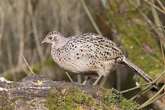 Lady of the Glade (M_squared Images) Tags: pheasant phasianuscolchicus msm1935 lancs silverdale rspbleightonmoss
