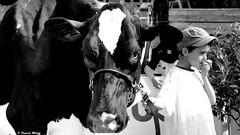 Kids in the show (patrick_milan) Tags: cow vache kid enfant show comice agricole bretagne finistere plouguin saint renan ploudalmezeau