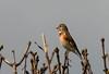 Linnet (Chalto!) Tags: portland portlandbill bird dorset linnet finch
