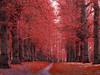 If Limes were Red (DaveKav) Tags: nottinghamshire sherwood clumber park trees woodland spring avenue limetreeavenue path