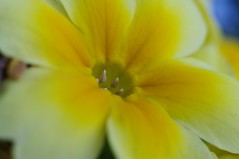 Flora xantha (mesutsuat) Tags: pentax k20d smc 50mm f2 macro tube supermacro flower botanicals closeup close up flash noflash extension