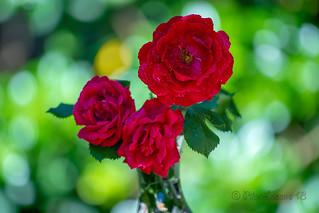 Rosas rojas...