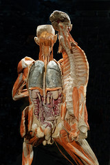 "Body Worlds ""The Happiness Project"", Amsterdam (jim_2wilson) Tags: humanbodies sonya99 minolta1735mmf28f4 bodyworlds amsterdam organs bloodvessels muscles jimwilson anatomy"