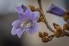 Royal Princess Tree Blooms (Pejasar) Tags: royalprincesstree bloom blossom blue spring