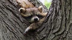 Sleeping Raccoon (mausgabe) Tags: olympus em1 olympusm300mmf4 nyc centralpark theramble raccoon