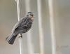 Female Red WInged Blackbird 5_5 (krisinct- Thanks for 15 Million views!) Tags: nikon d4 500 f4 vrg 14x tc