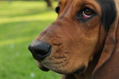 Noodle the Dog. (addieiverson) Tags: dogface spotteddogs floppyeardogs floppyears bassets puppies puppy dogs hounddogs bassethounds