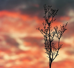 Conversations with the sky (Peterix) Tags: clouds sky sunset twilight silhouette plant flower colours evening eveningsky