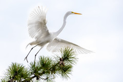 Ballet En L'air (jgaosb) Tags: great egret pine tree dance high key