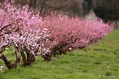 Rose pour les filles ☺ (Pierrotg2g) Tags: arbres trees printemps spring bokeh nikon d90 tamron 70200