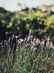 Sormiou Floral mai 2018 -  07 (akunamatata) Tags: sormiou floral balade mai 2018 parc des calanques park provence fleurs flowers sentier sciatique