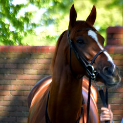 Masar (hyperionone) Tags: horse racehorse thoroughbred masar newapproach guineas newmarket craven winner chestnut beauty handsome charlieappleby darley godolphin face portrait