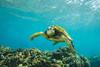turtle5Mar30-18 (divindk) Tags: cheloniamydas hawaii hawaiianislands honokeana honu maui napili napilipointresort underwater diverdoug endangeredspecies greenseaturtle marine ocean reef sea seaturtle turtle underwaterphotography