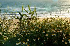 Spring is also on the beach... (Raquel Borrrero) Tags: flowers daisy sea beach sand plant water flores margarita mar playa arena planta bright paysage seascape conildelafrontera cádiz spain españa day eau agua mer natural naturephotography sunshine olas waves