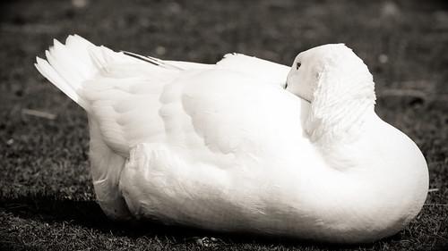 Weiße Gans