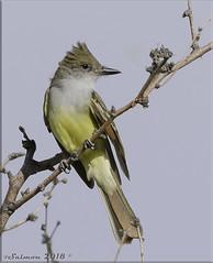 Brown-crested Flycatcher (fwsalmon) Tags: browncrestedflycatcher myiarchustyrannulus ravenridgeranch tucson arizona canon7dmarkii canon100400lii