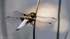 Broad-Bodied Chaser - Libellula depressa (Male) (Andy Pandy Pooh) Tags: broadbodiedchaser libelluladepressa dragonfly hengistburyhead lilypond