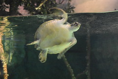Sea Turtle (Adventurer Dustin Holmes) Tags: 2018 wondersofwildlife chordata animalia aquarium aquatic reptile turtle seaturtle swimming