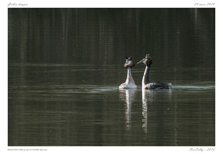 Grèbe huppé | Great Crested Grebe