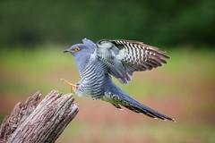 Cuckoo (mikedoylepics) Tags: cuckoo animals british britishwildlife birds bird d500 nature nikon nikond500 surrey wildlife wild thursleycommon thursley