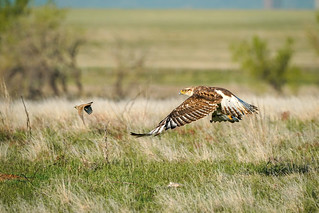 Ferruginous Hawk - Horned Lark