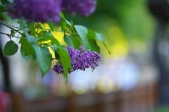 Colorful lilac (Baubec Izzet) Tags: baubecizzet pentax bokeh colorful nature spring flower lilac flickrunitedaward