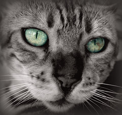 Mon félin (valade99) Tags: chat portrait félin regard vert animal