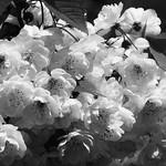 spring petals 01 thumbnail