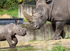 Mother and Son (Holfo) Tags: safaripark rhino calf baby mother pair two nikon d750 animal mammal grass family look