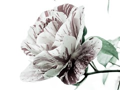 (pcamma) Tags: manipolazionedigitale digitalmanipulation edititing oneflower solounfiore semplicità iphonography iphone macro mygarden garden giardino fiore rosa flower