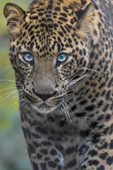 Bright blues (stephanieswayne1) Tags: image astounding amazing portrait profile africa endangered spots handsome animal wild zoo columbus cat big serious up looking blue eyes male leopard african