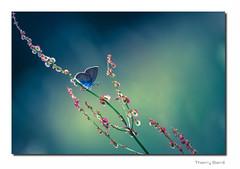 Papillon Q3 Bd Sg Rd1 IMG_3883-4 (thierrybarre) Tags: papillon argus azuré bleu graphique fleur rose bokeh bonbon mood