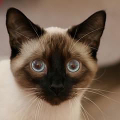 Cat Eyes (arbyreed) Tags: arbyreed smileonsaturday eyecatcher siamesecat kitty eyes blueeyes badger