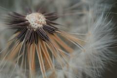 Dandelion Seeds (Kat~Morgan) Tags: dandelion seed nature macro sonya3000 fuzzy