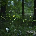 松樹,森林,螢火蟲,台灣,新竹,芎林,鹿寮坑 thumbnail