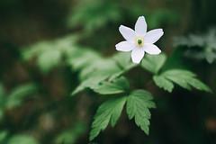 Anemone nemorosa (Jonas Tana) Tags: anemonenemorosa 135mm 1352l flower 1dmkiv canon woodanemone