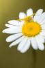 Tons sur tons (Scholt's) Tags: spider yellow jaune insecte insect fleur flower nikon d7000 nature macro macrophotography araignée