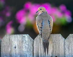 Pigeon (nuranaaba) Tags: bird prgion outdoor nature garden picture photography closeup shot wildlife colors flower