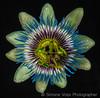 180519 Passiflora_01 (Bati18) Tags: flower passiflora fioredellapassione passion