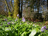 Spanish bluebells (Hyacinthoides hispanica aka Scilla hispanica) in beech forest, Valmigere (Niall Corbet) Tags: france occitanie languedoc roussillon aude valmigere beech fagus forest spanishbluebell hyacinthoideshispanica scillahispanica bluebell