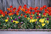 Alongside the wooden fence (LotusMoon Photography) Tags: tulips spring red yellow flowers blossoms blooming nature botanicgarden fence annasheradon lotusmoonphotography