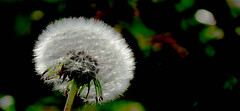 Old beauty (evakongshavn) Tags: dandelion flower flora treasures tinytreasuresinflora stars oldflower green light sun beam blahblahscape macro makro closeup
