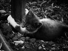 3971 - Bruto (Diego Rosato) Tags: bruto gatto cat gattino kitten animale animal pet bianconero blackwhite fuji x30 rawtherapee