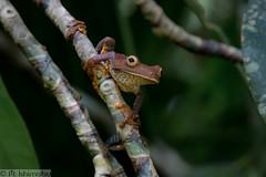 Map treefrog- Boana geographica (Marisa.Ishimatsu) Tags: map treefrog boana geographica maptreefrog boanageographica frog peru loreto amazon amazonrainforest anura anuran