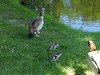 Off to the water (Artemis1947) Tags: sussex sheffieldpark nationaltrust animals birds geese egyptiangeese goslings