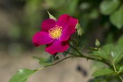 Flowers. (ost_jean) Tags: saverne alsace france nikon d5300 tamron sp 90mm f28 di vc usd macro 11 f004n ostjean rose roos frankrijk bloemen fleurs