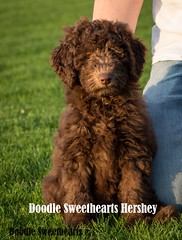 Hershey - Doodle Sweethearts photo - 04 (JD and Beastlet) Tags: